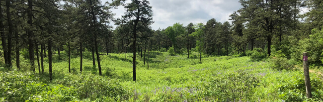 Inland pine barrens with pitch pine trees and wild blue lupine flowers