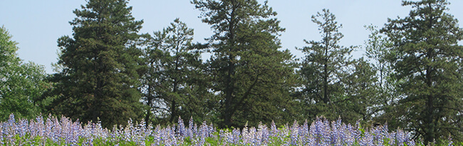 Wild blue lupine field