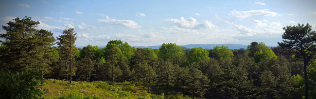 Broad view of the inland pine barrens on a sunny summer day