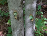 Tree trunks with holes drilled in them. The holes look blue becasue of a chemical herbicide that has been applied.