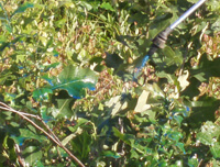 Scrub oak leaves with blue herbicide being sprayed directly onto them.