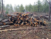 A pile of logs laying on the ground in an area where invasive trees were just removed.